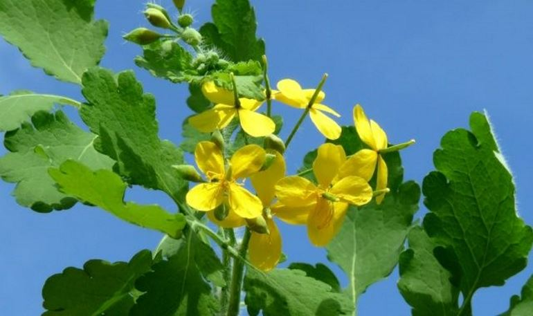 The fight against aphid celandine
