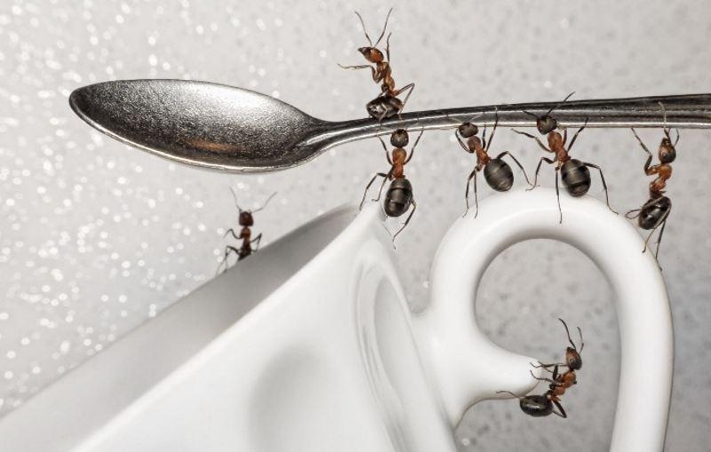 Как избавиться от муравьев борной кислотой