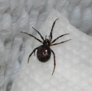 Разновидности домашних пауков