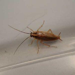 Общая информация о тараканах