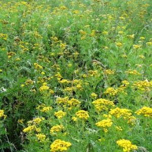 Борьба с помощью ароматов травянистых растений