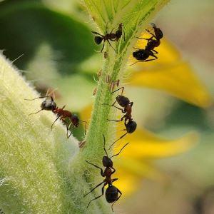 Проверенные способы уничтожения муравьёв в парнике