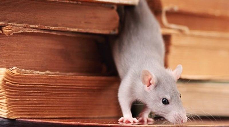 Как избавиться от крысы в доме