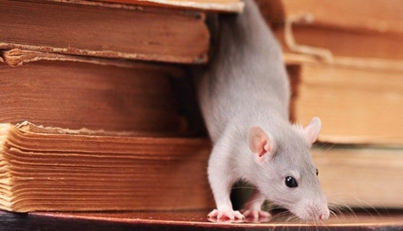 Как поймать крысу? 4 смертельных ловушки и 12 народных средств исстребления грызунов || Как поймать крысу в доме самодельный способ