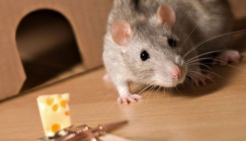 Способы истребления крыс в квартире