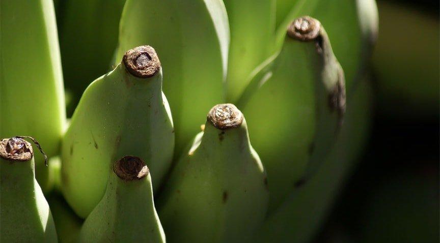 Три категории зрелости бананов