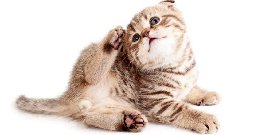 Как справиться с кошачьими блохами