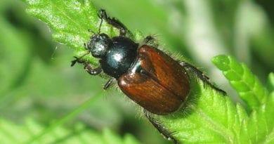 Что едят майские жуки