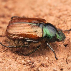 Описание майских жуков