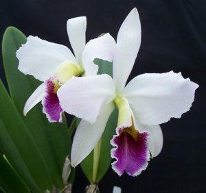 «Детки» орхидей: откуда берутся и что делать