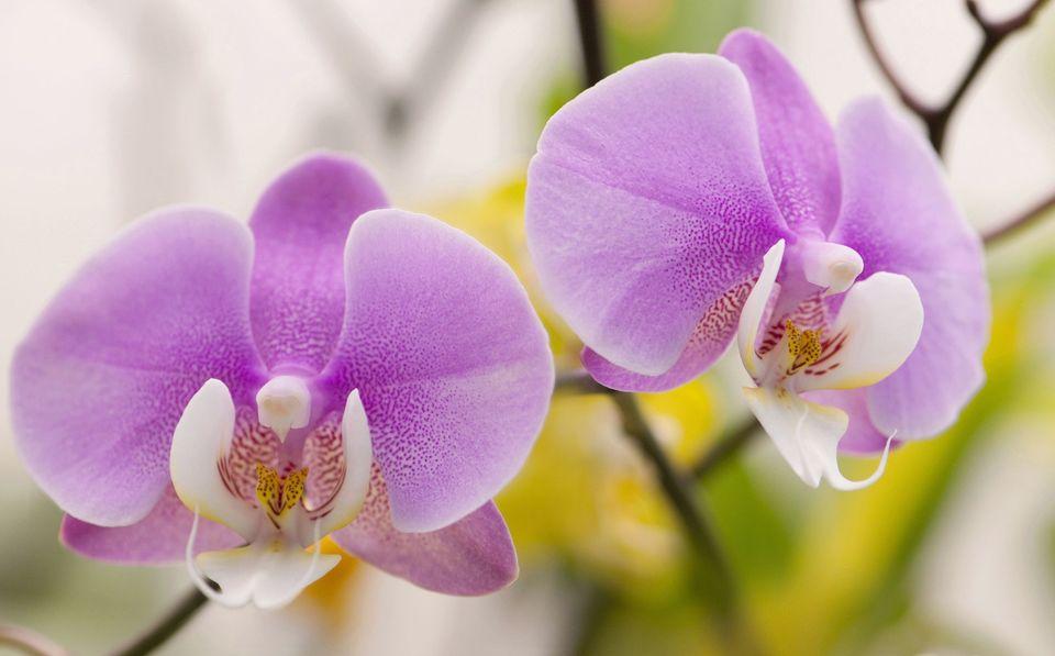Методы размножения орхидеи Фаленопсис в домашних условиях
