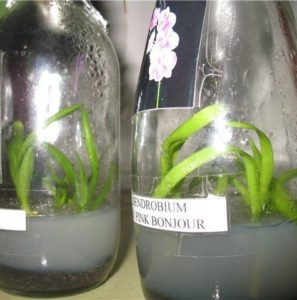 Souvenir from Thailand - reproduction using flasks with ready seedlings