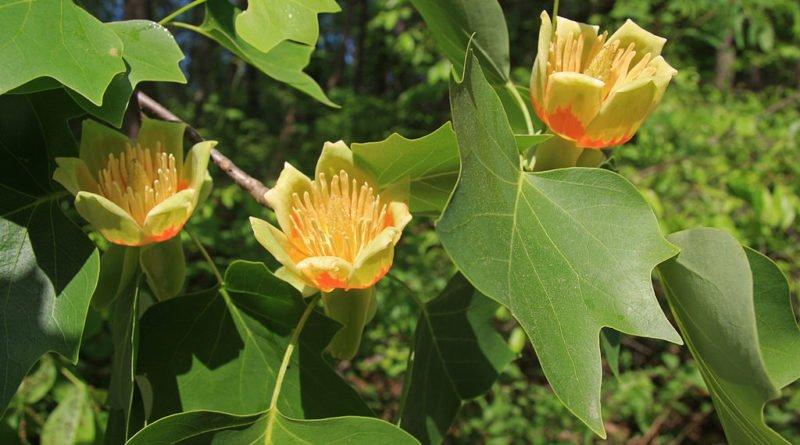 Что такое Тюльпановое дерево