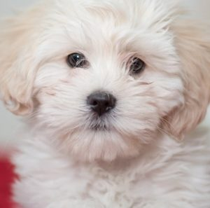 Может ли быть лимфоцитоз у собаки