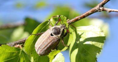 Как выглядит майский жук