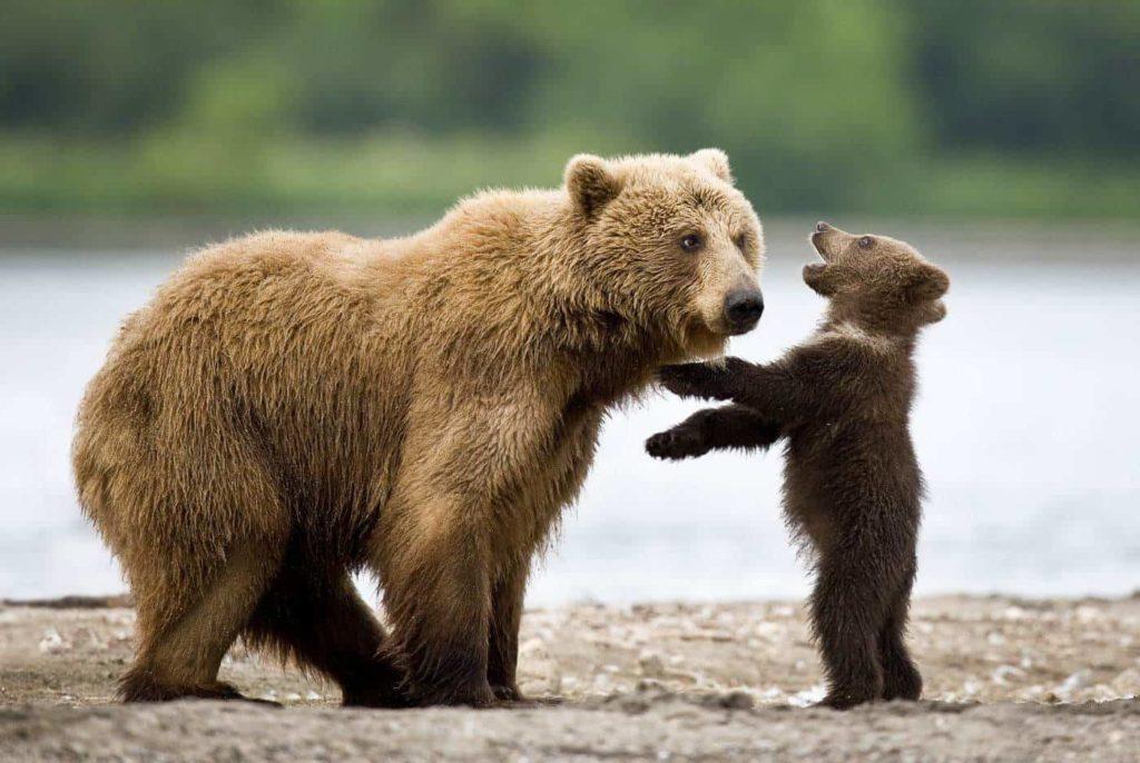 сонник что значит медведь