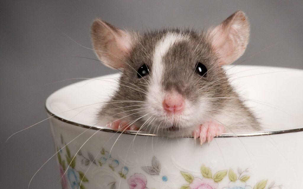 К чему снится белая крыса толкование по сонникам для мужчин и женщин