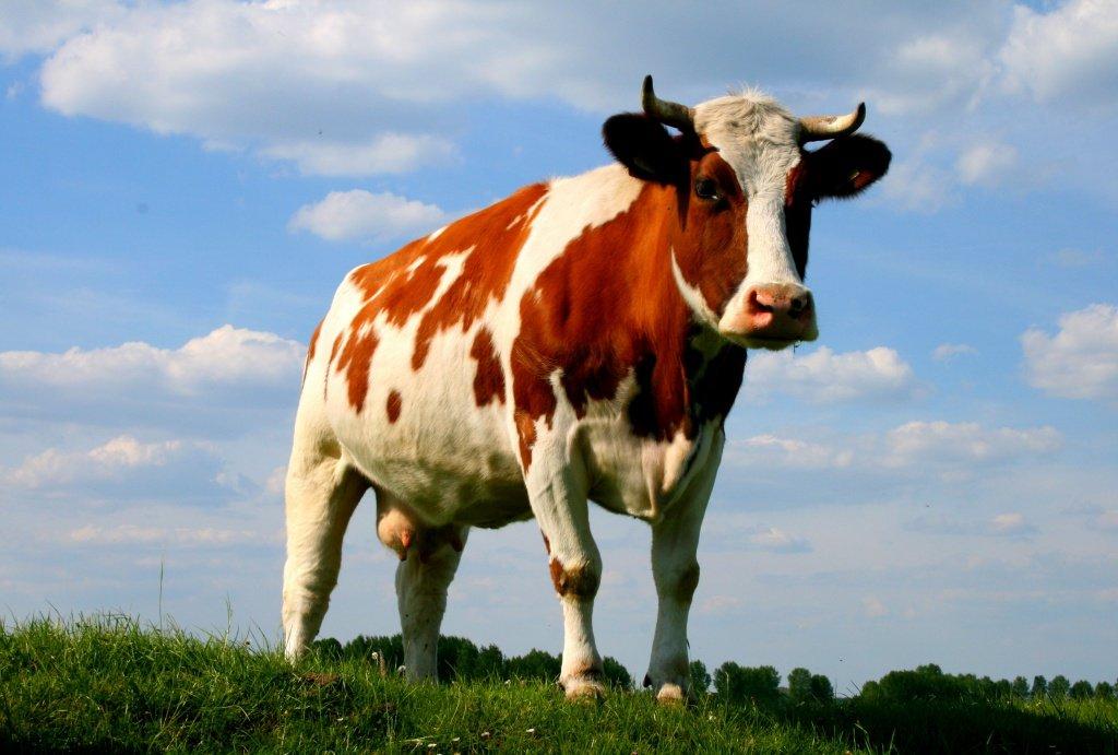 Что предвещает корова в реальной жизни как правильно толковать