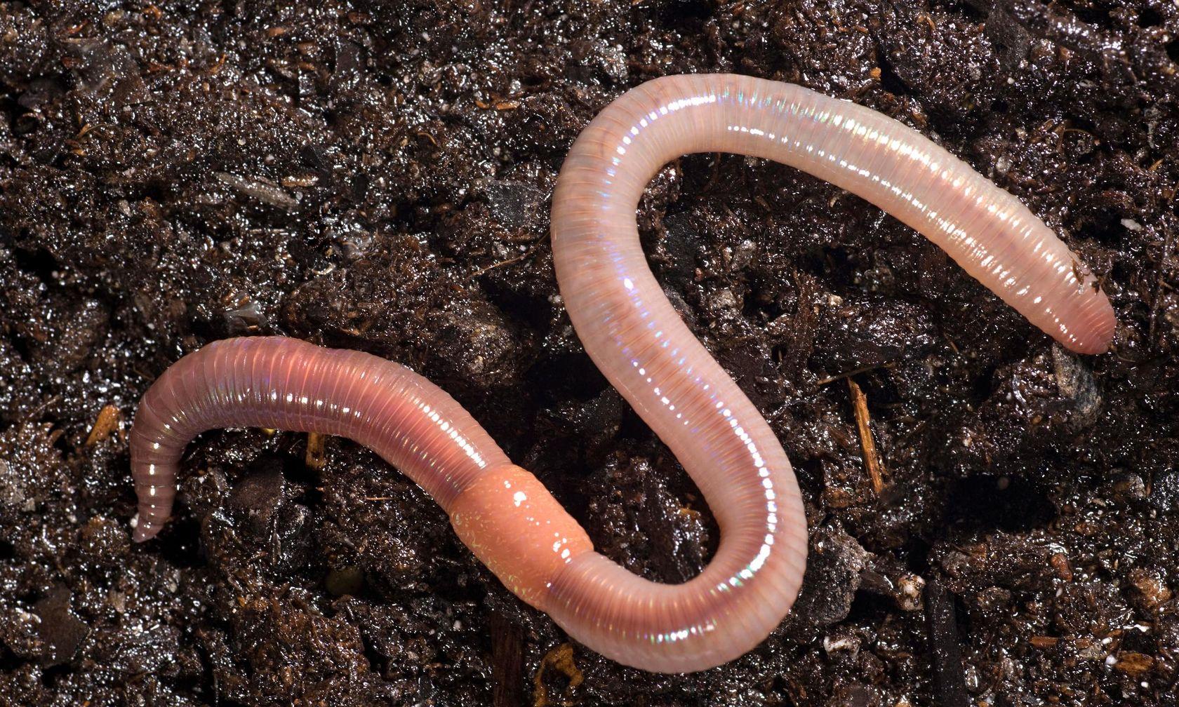 К чему снятся черви, сонник – черви во сне