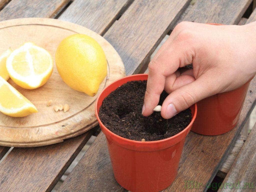 Как вырастить лимон самостоятельно?