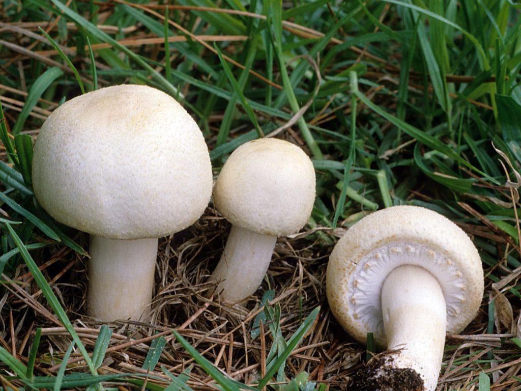 A little bit about the mushroom