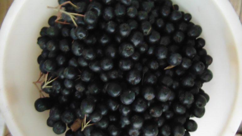 Особенности вина из черноплодки