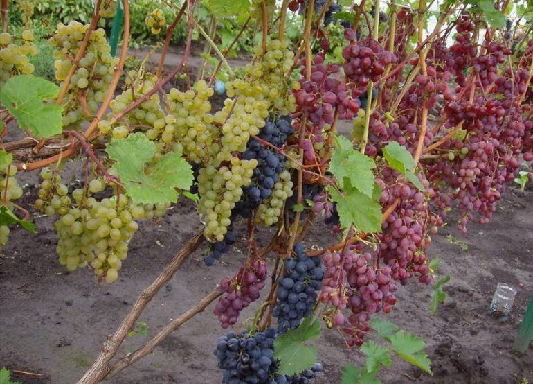 Зачем укрывают виноград на зиму?