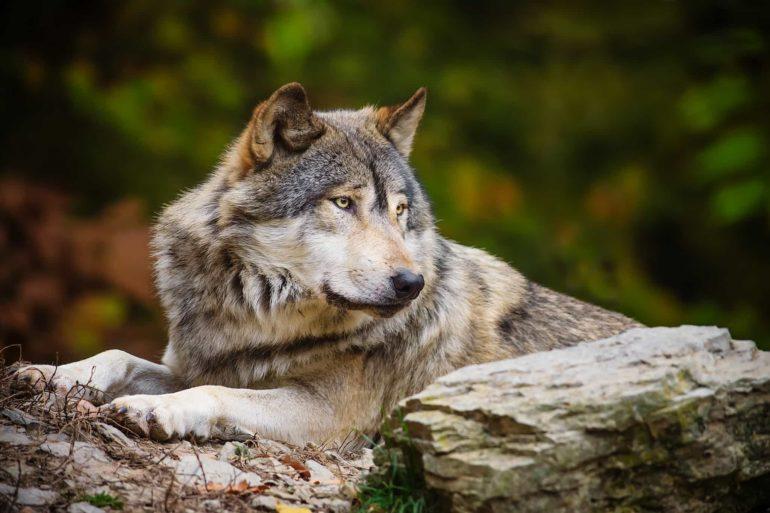 Значение волка во сне