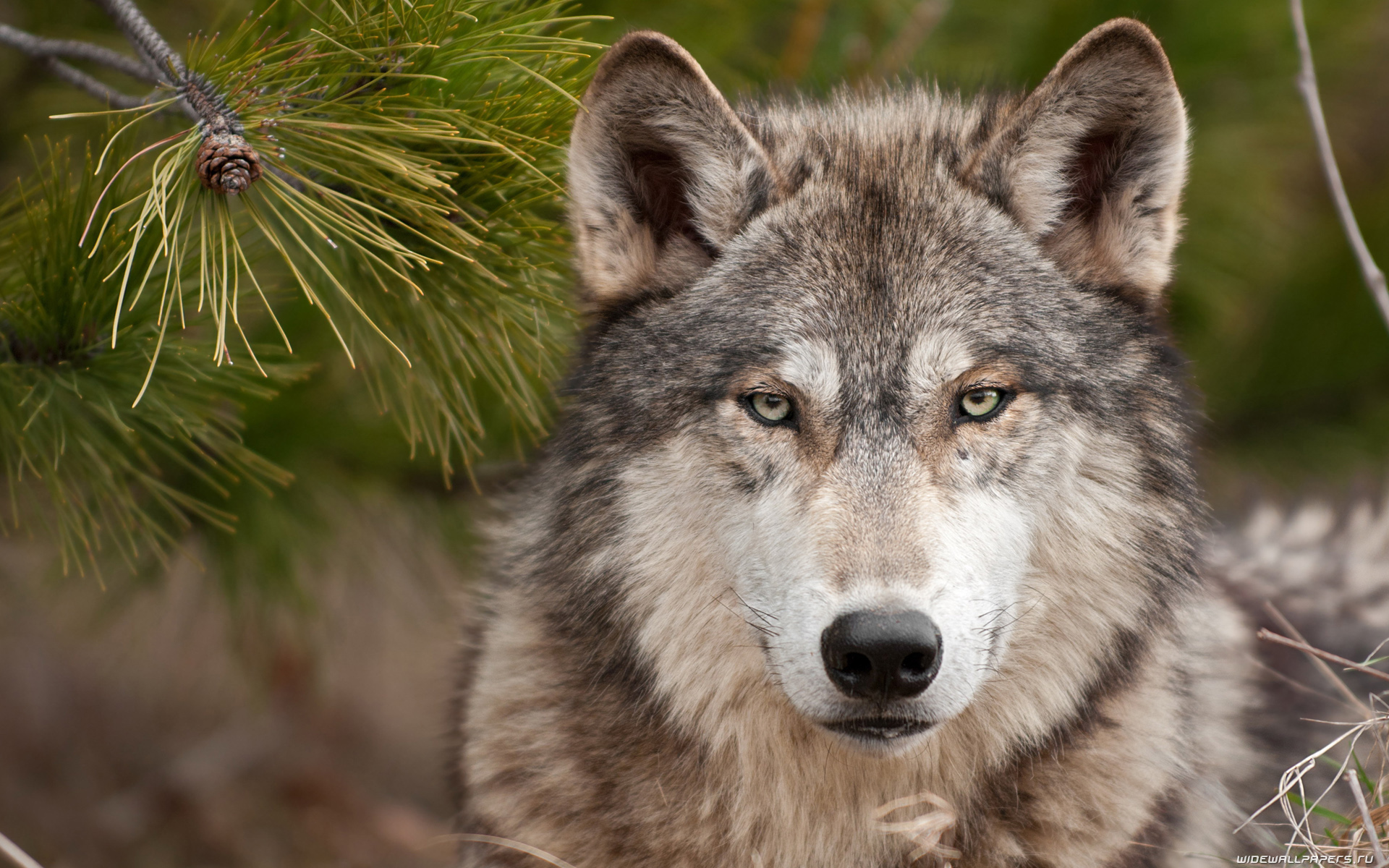 К чему снятся волки. Сонник — толкование снов о волках