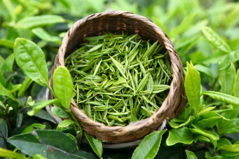 Особенности производства зелёного чая
