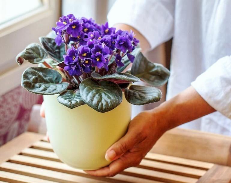 Уход за фиалкой в домашних условиях