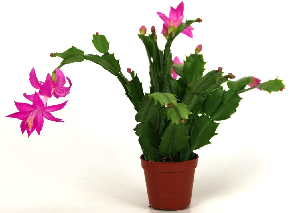 Декабрист — приметы и суеверия, можно ли держать цветок дома?