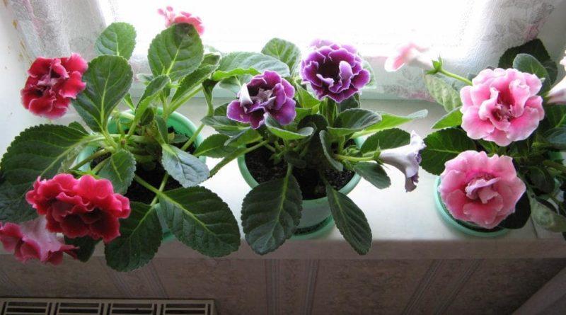 Растение Глоксиния