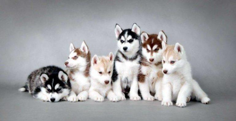 Как выбрать щенка лайки?