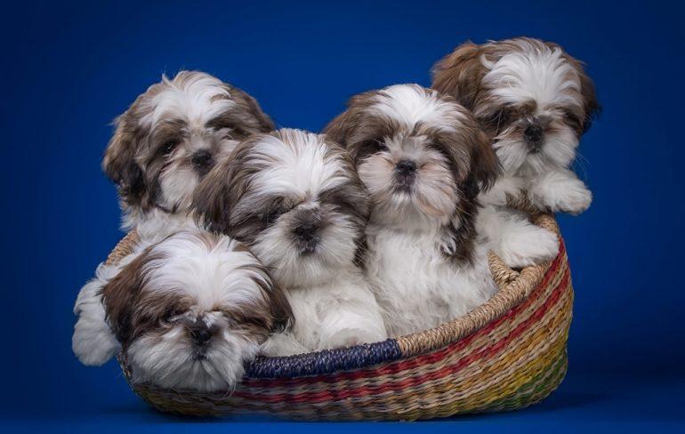 Как выбрать щенка ши тцу?