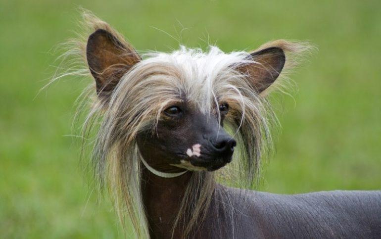 Характер хохлатой собаки
