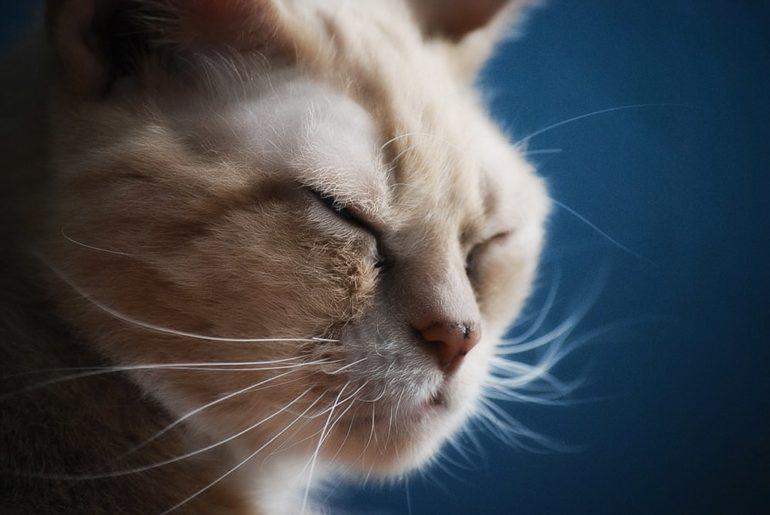 Что такое лишай у кошек?