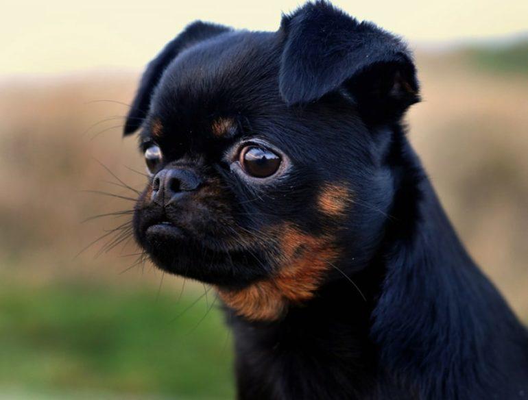 Как выбрать щенка пти-брабансона?