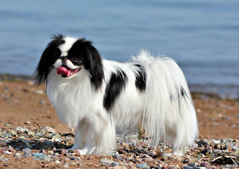 Японский хин маленькая порода собак