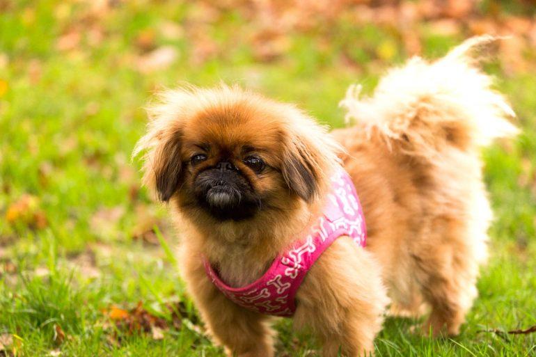 Пекинес маленькая порода собак