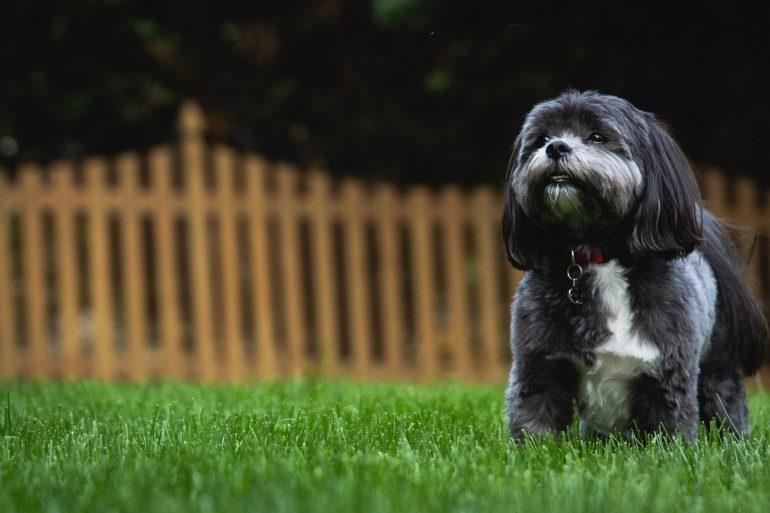 Ши-тцу маленькая порода собак