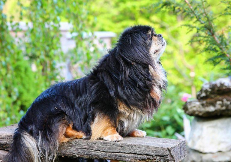 Тибетский спаниель маленькая порода собак
