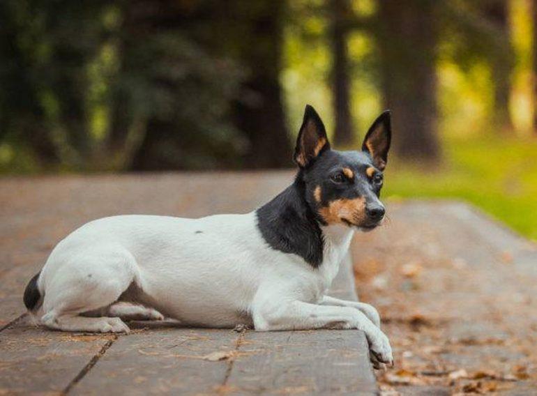 Той фокстерьер маленькая порода собак