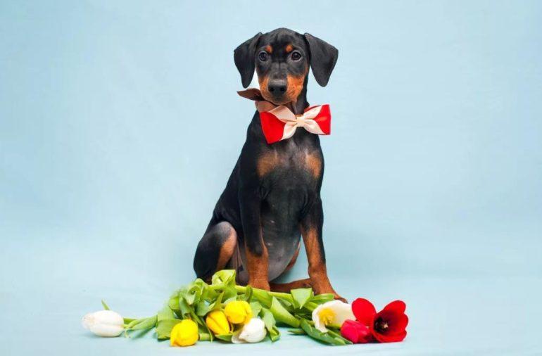 Как выбрать щенка немецкого пинчера?