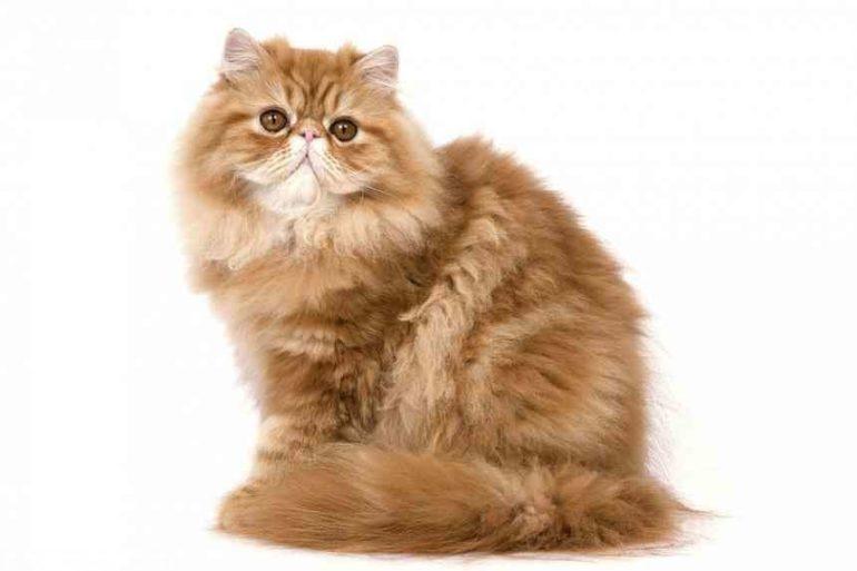 Сколько стоит персидская кошка?