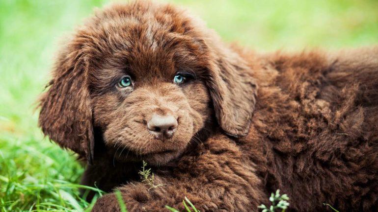Как выбрать щенка ньюфаундленд?