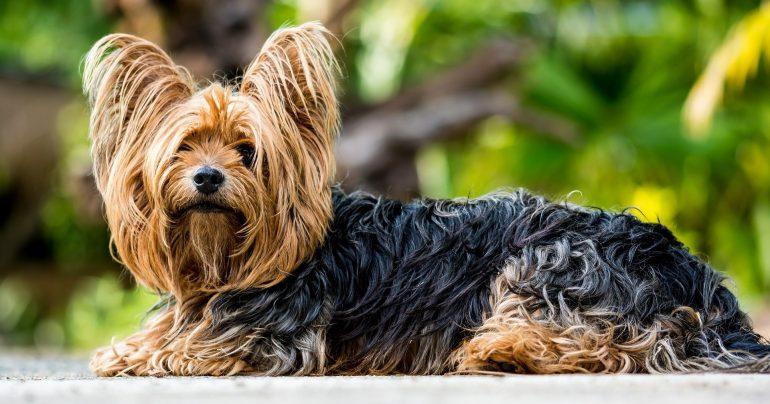 Йоркширский терьер маленькая порода собак