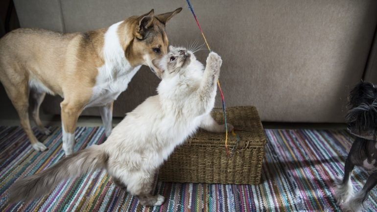 Бирма с собакой