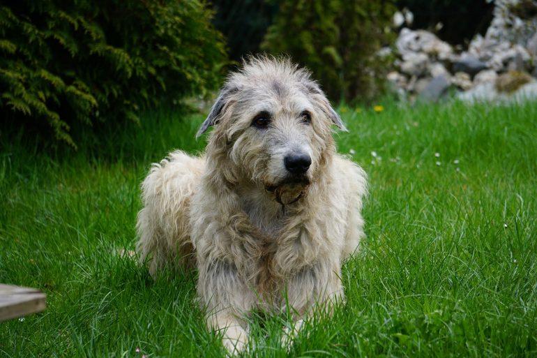Ирландский волкодав самая большая собака