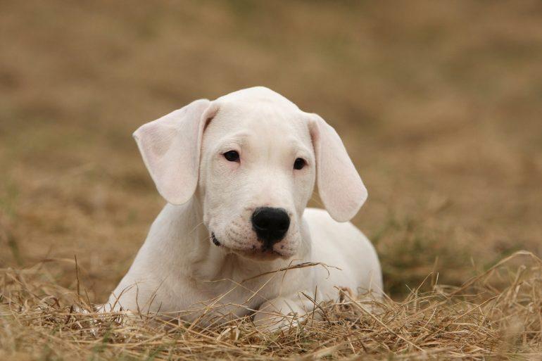 Как выбрать щенка аргентинского дога